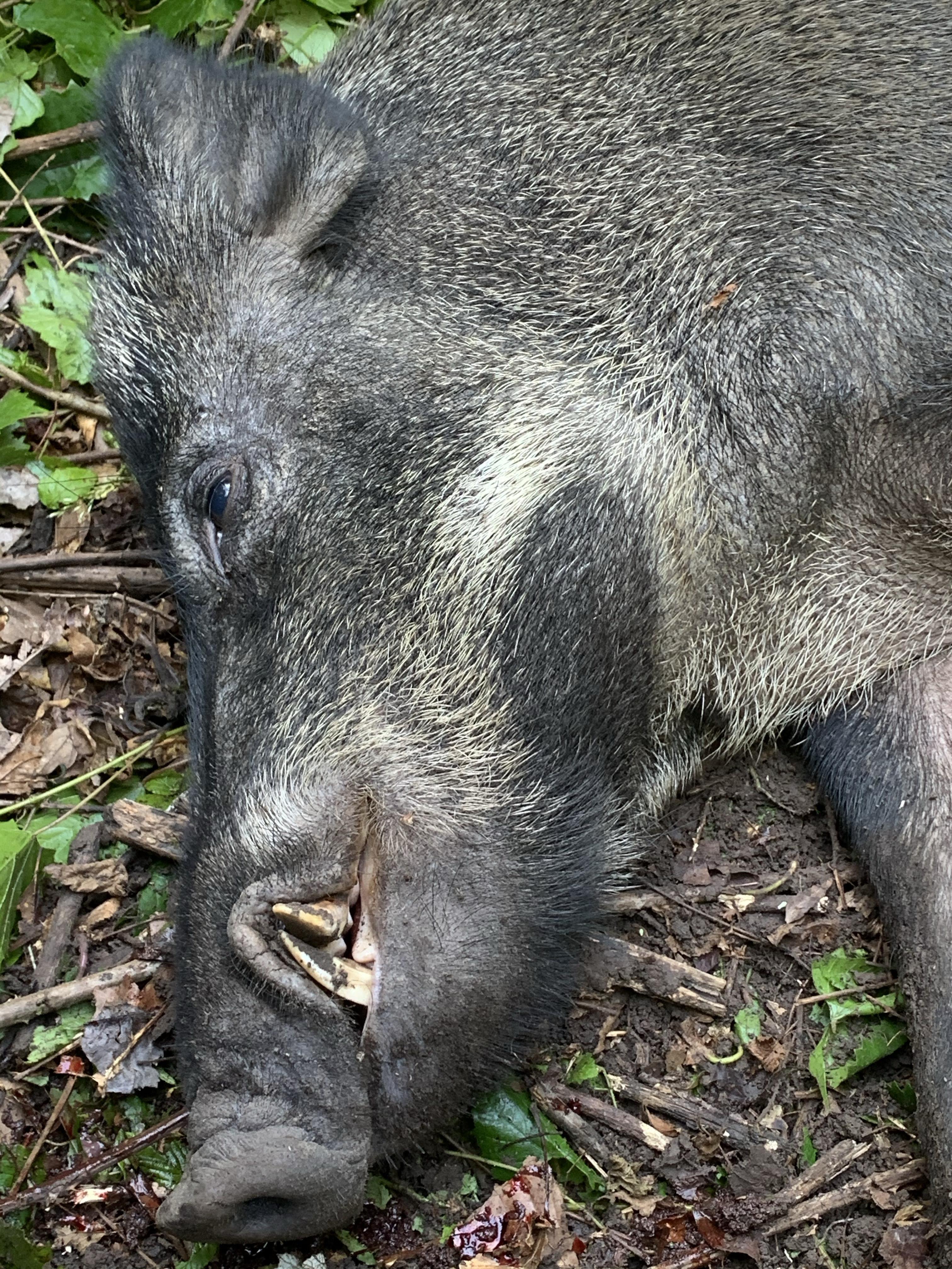 CMR put down big Wild Boar-img_0783.jpg